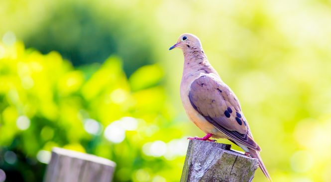 9 Dove Hunting Tips