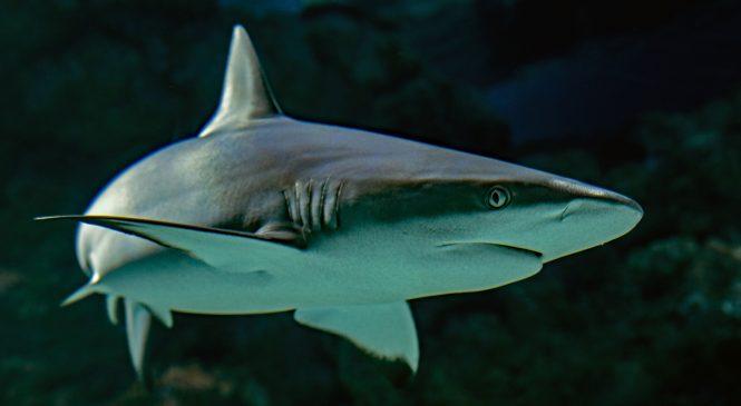 Spear Fishing & Sharks