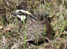 Quail Hunting: A Hunt to Remember