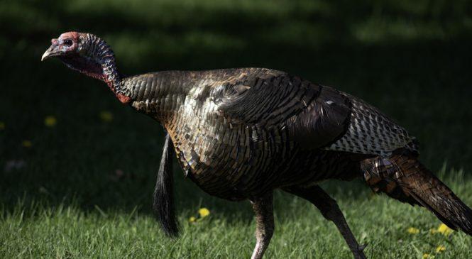 Beginner Tips for Turkey Hunting