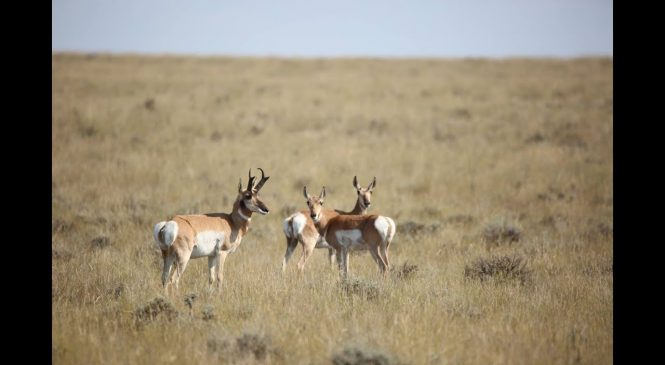 Antelope Hunting in the Medicine Bow Region of Wyoming