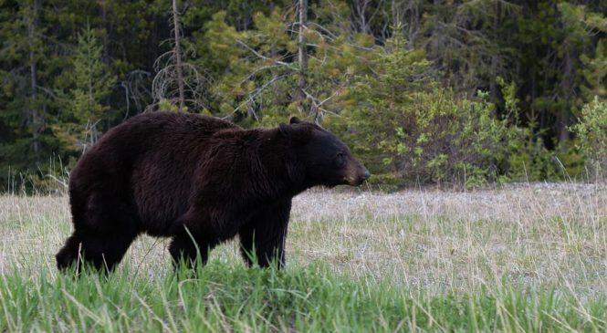 Hunting Black Bears Over Bait